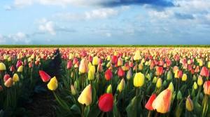 lavoro in olanda paesi bassi trasferirsi in olanda cercare lavoro nei paesi bassi tulipani